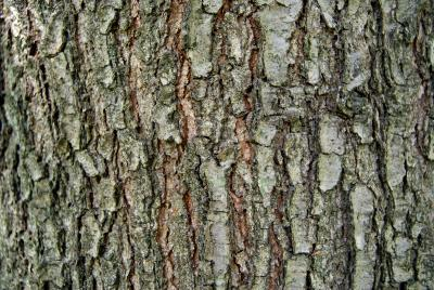 Quercus imbricaria (Shingle Oak), bark, mature