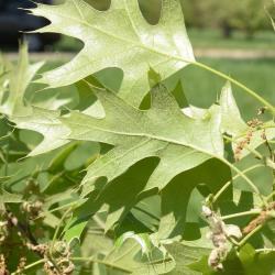 Quercus muehlenbergii (Chinkapin Oak), bark, trunk