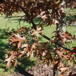 Quercus ellipsoidalis (Hill's Oak), leaf, lower surface
