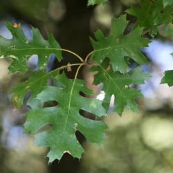 Quercus muehlenbergii (Chinkapin Oak), bark, mature