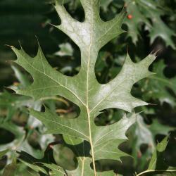 Quercus montana (Chestnut Oak), bark, trunk