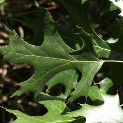 Quercus muehlenbergii (Chinkapin Oak), bud, terminal