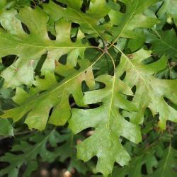 Quercus montana (Chestnut Oak), habit, winter