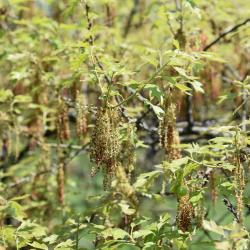 Quercus macrocarpa 'Eckman' (Eckman's Bur Oak), habit, spring