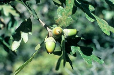 Quercus gambelii (Gambel's Oak), fruit, immature