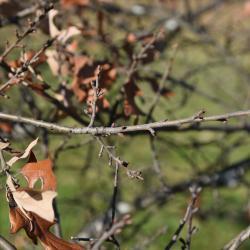 Quercus ilicifolia (Bear Oak), leaf, spring