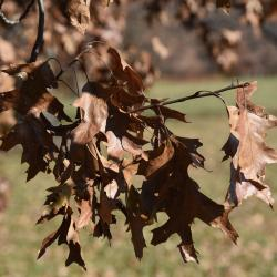 Quercus muehlenbergii (Chinkapin Oak), fruit, mature