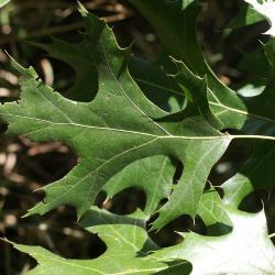 Quercus imbricaria (Shingle Oak), leaf, summer