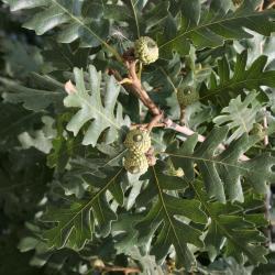 Quercus imbricaria (Shingle Oak), leaf, lower surface
