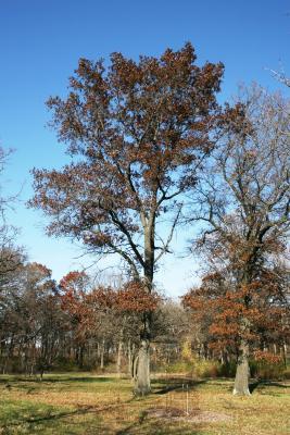 Quercus ellipsoidalis (Hill's Oak), habit, fall