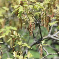 Quercus lyrata (Overcup Oak), bark, branch