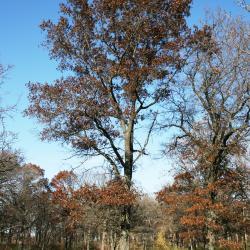 Quercus ellipsoidalis (Hill's Oak), leaf, summer