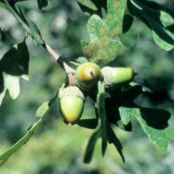 Quercus imbricaria (Shingle Oak), leaf, new