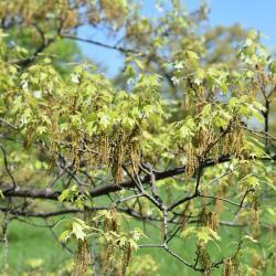 Quercus lyrata (Overcup Oak), leaf, fall