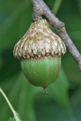 Quercus ellipsoidalis (Hill's Oak), fruit, mature