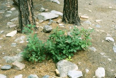 Quercus gambelii (Gambel's Oak), habitat