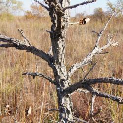 Quercus macrocarpa (Bur Oak), bark, twig