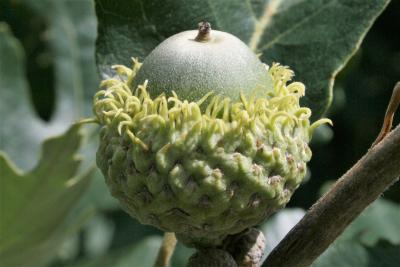 Quercus macrocarpa (Bur Oak), fruit, immature