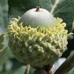 Quercus macrocarpa (Bur Oak), habit, winter