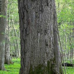 Quercus macrocarpa (Bur Oak), flower, staminate