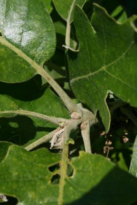 Quercus macrocarpa (Bur Oak), bud, lateral