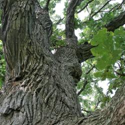 Quercus macrocarpa (Bur Oak), bud, vegetative