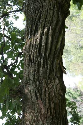 Quercus macrocarpa (Bur Oak), bark, branch
