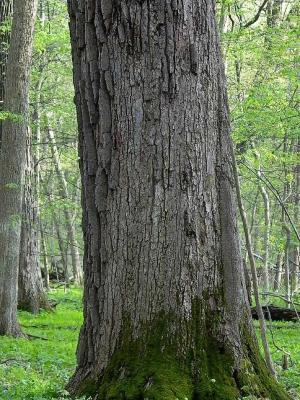 Quercus macrocarpa (Bur Oak), bark, trunk