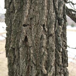 Quercus macrocarpa (Bur Oak), flower, pistillate