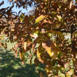 Quercus macrocarpa 'Eckman' (Eckman's Bur Oak), leaf, spring