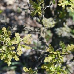 Quercus mongolica (Mongolian Oak), habit, fall