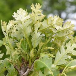 Quercus mongolica (Mongolian Oak), leaf, summer