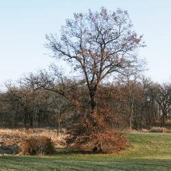 Quercus macrocarpa (Bur Oak), acorn cap