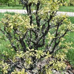 Quercus marilandica (Blackjack Oak), habit, fall