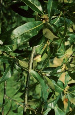 Quercus imbricaria (Shingle Oak), fruit, immature