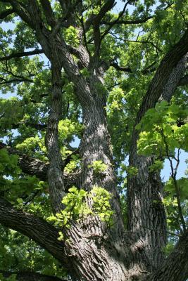 Quercus macrocarpa (Bur Oak), bark, mature
