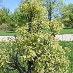 Quercus marilandica (Blackjack Oak), leaf, fall