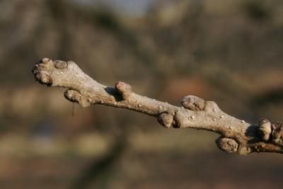 Quercus macrocarpa (Bur Oak), bud, terminal