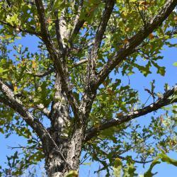 Quercus marilandica (Blackjack Oak), bark, twig