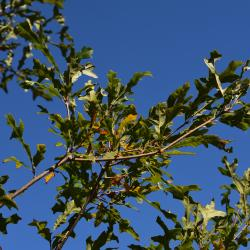 Quercus marilandica (Blackjack Oak), fruit, immature