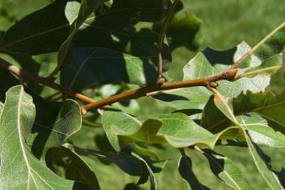 Quercus marilandica (Blackjack Oak), bud, lateral