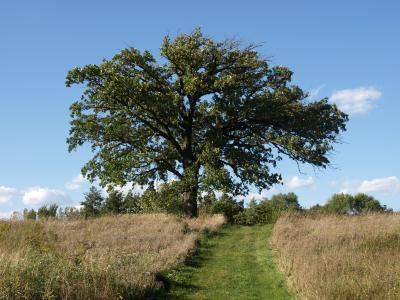 Quercus macrocarpa (Bur Oak), habit, summer