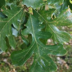 Quercus marilandica (Blackjack Oak), leaf, spring