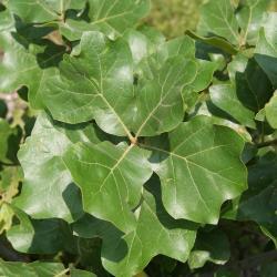 Quercus robur (English Oak), leaf, summer