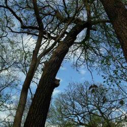 Quercus macrocarpa (Bur Oak), leaf, fall