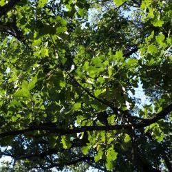 Quercus macrocarpa (Bur Oak), trunk, cross section