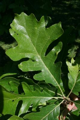 Quercus macrocarpa (Bur Oak), leaf, upper surface