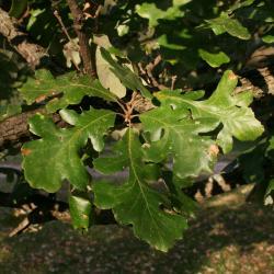 Quercus marilandica (Blackjack Oak), leaf, summer