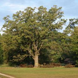 Quercus macrocarpa (Bur Oak), leaf, spring