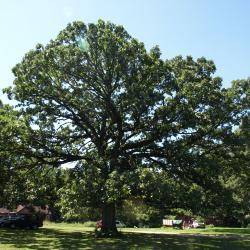 Quercus macrocarpa (Bur Oak), leaf, lower surface